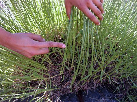 Lavendel Pflege Im Garten 5104 by Richtige Lavendel Pflege