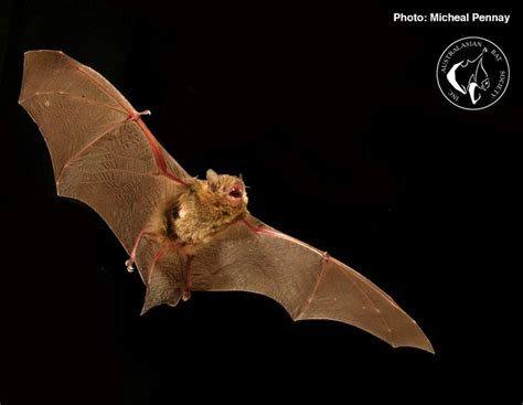 pin by australasian bat society on insectivorous bats