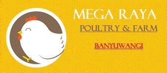 Jual Bibit Ayam Arab Lombok jual bibit ayam kung di banyuwangi mega raya farm