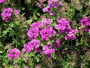 online plant guide verbena rapunsel purple rapunsel
