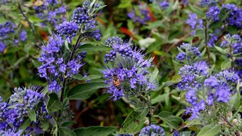 shrub blue flowers the real dirt late bloomers light up fall garden the