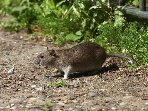 How To Stop Rats Coming Into Garden by Stop Rodents Getting Into Your Home