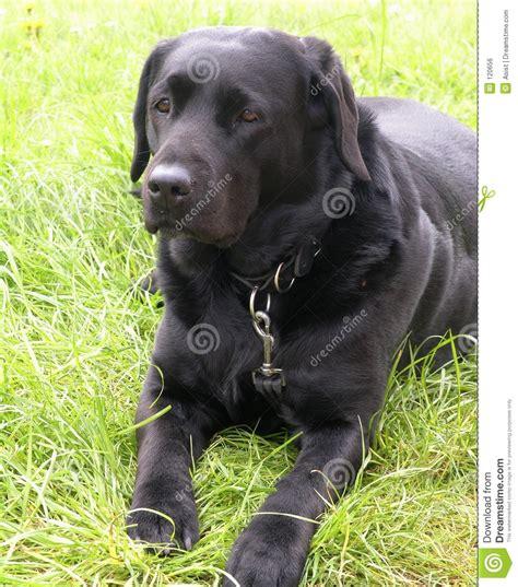 imagenes labrador negro perro negro de labrador imagen de archivo libre de