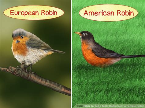 what color are robins 3 ways to tell a robin from a robin wikihow