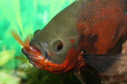 oscar fish eat lovetoknow