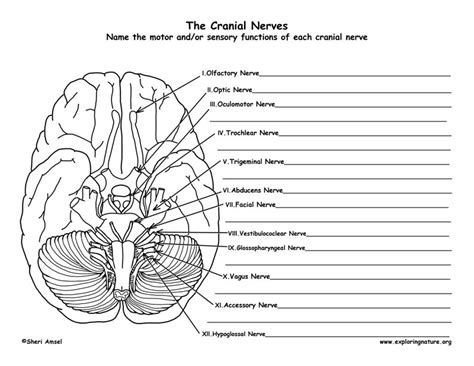 Brain Labeling Worksheet by Cranial Nerves Of The Brain 12 Pairs