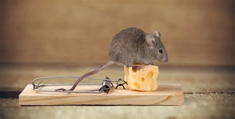 mouse in the house atlanta pest control