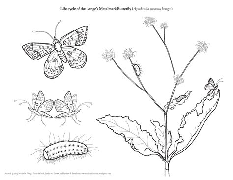 butterfly metamorphosis coloring pages 43 butterfly metamorphosis coloring page free