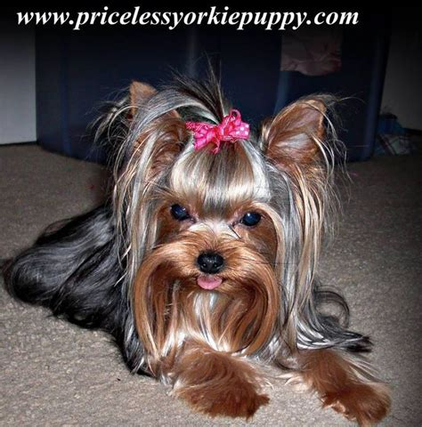 teacup yorkies in michigan pin by tanisha breton on priceless yorkie puppy