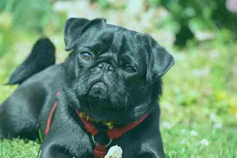 are pugs smart mypetzilla puppies dogs kittens cats pets for sale uk buy sell