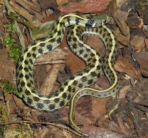 Garter Snake Forum Checkered Garter Snake Thamnophis Marcianus
