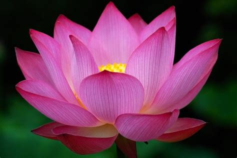images of the lotus flower pink lotus flowers