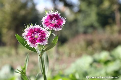 floral pictures dianthus flower picture flower pictures 3932