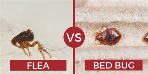 flea vs bed bug can bed bugs fly or jump how do they move pest