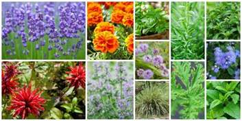 insect repellent plants vegetable garden 12 garden plants that repel mosquitos so you can enjoy