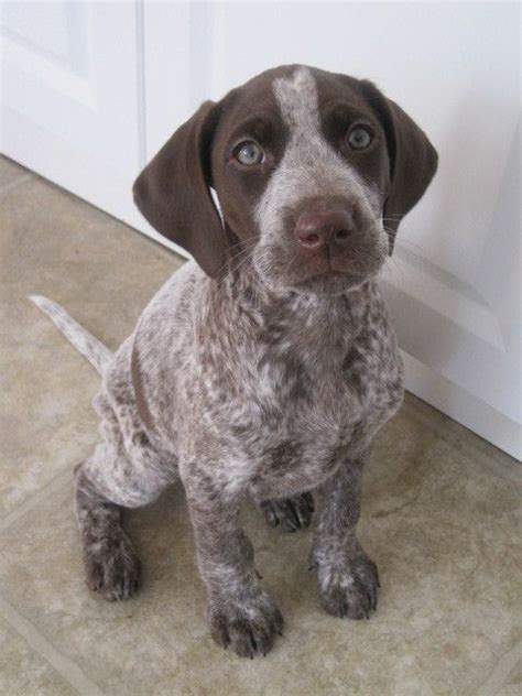 gsp puppy pictures of german shorthaired pointer breed similar to the puppy got for