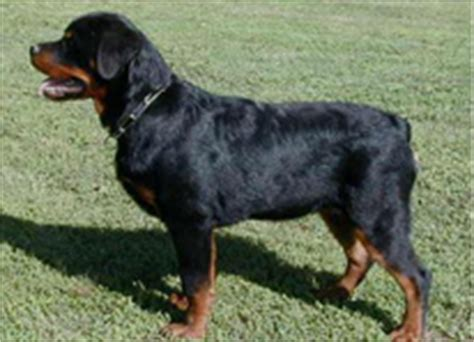 rottweiler puppies for sale in wv rottweiler breeders hausderberg rottweilers rottweiler puppies german