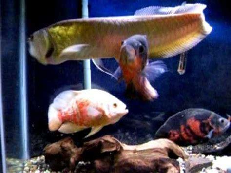 can dogs eat goldfish 22 quot arowana mouse 12 quot oscars goldfish
