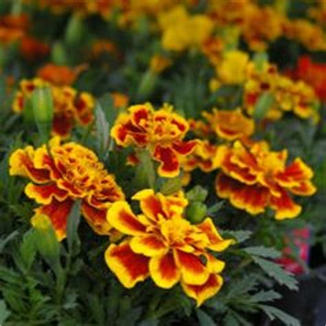 marigolds shade ajuga black scallop is a deer proof evergreen groundcover
