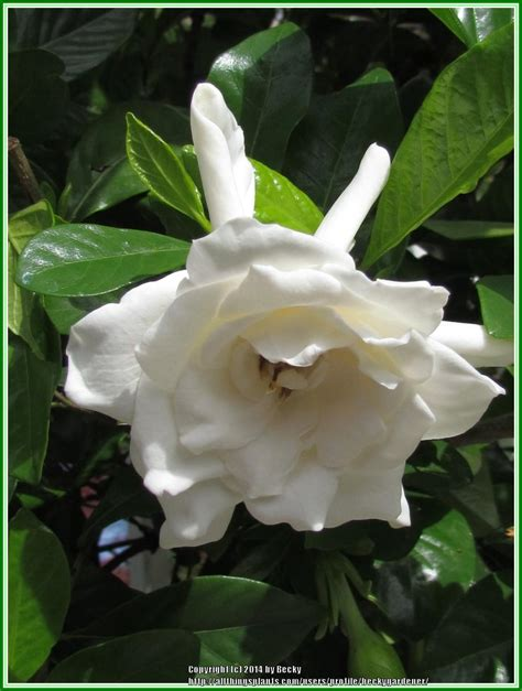Gardenia Upkeep Gardenias Plant Care And Collection Of Varieties Garden Org