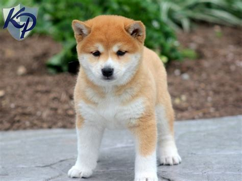shiba inu puppies for sale in florida shih tzu puppies shih tzu breeders rachael edwards