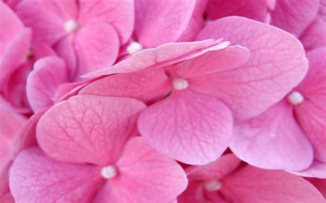 rosa fiori sfondo fiori wallpaperpack