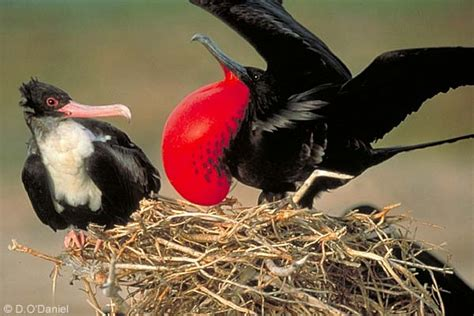 the great frigate bird