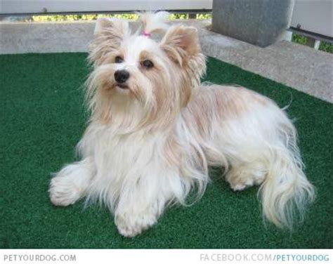 yorkie white golddust terrier pictures wacky or