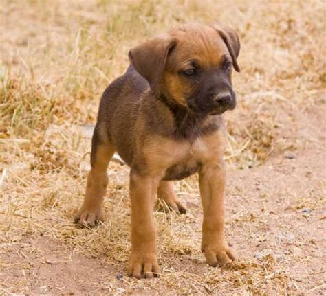 pitbull german shepherd mix 17 best ideas about boxer mix on boxer puppies baby bulldogs and baby
