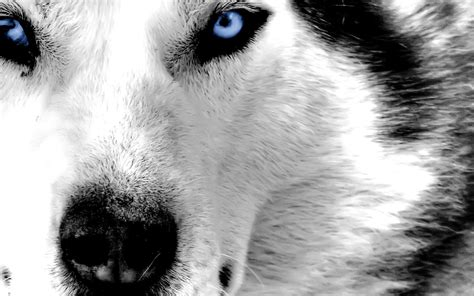 Husky Wallpaper Blue Eyes | blue eyed husky wallpaper 103378
