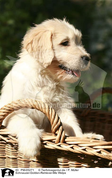 golden retriever schnauzer mix pm 05271 schnauzer golden retriever mix welpe mongrel puppy bilder fotos