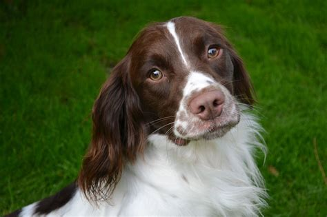 springer spaniels for sale english springer spaniel dog for sale rochester kent