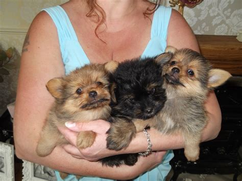 yorkie x pomeranian yorkie mix puppies for sale