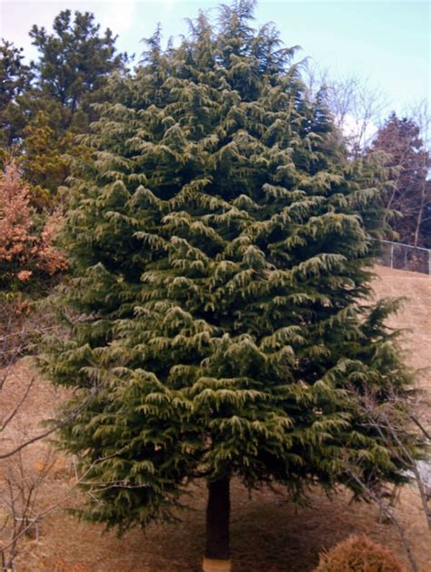 collection deodar cedar christmas tree pictures
