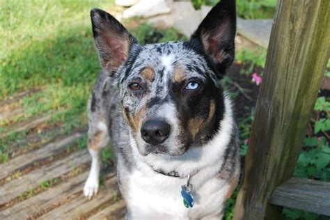 cattle dogs herding dogs five of the best breeds to help on the farm