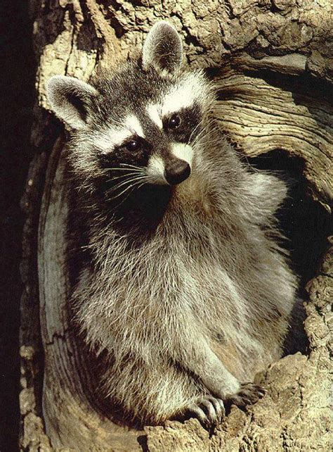 how to a coon to tree a raccoon raccoons lots of pictures of them