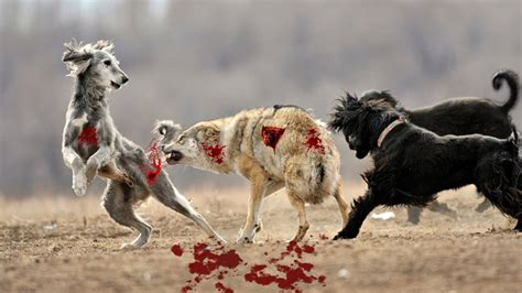 Wolf Hunt Dog   Wild Nature Wolf Size Vs Dog Wild Wolf Vs