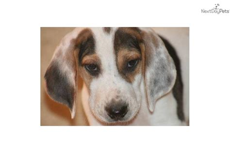american foxhound puppies for sale near me american foxhound puppy for sale near dallas fort worth 4f4d6b1a 5b51