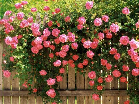 imagenes de jardines de rosas rojas rosas en el jard 237 n im 225 genes y fotos
