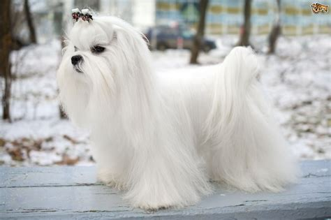 buy maltese puppy maltese breed information buying advice photos and facts pets4homes