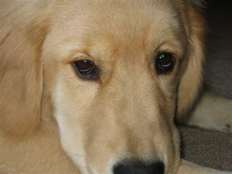 golden retriever eye discharge golden retriever eye disease lenape golden retriever club about goldens puppy