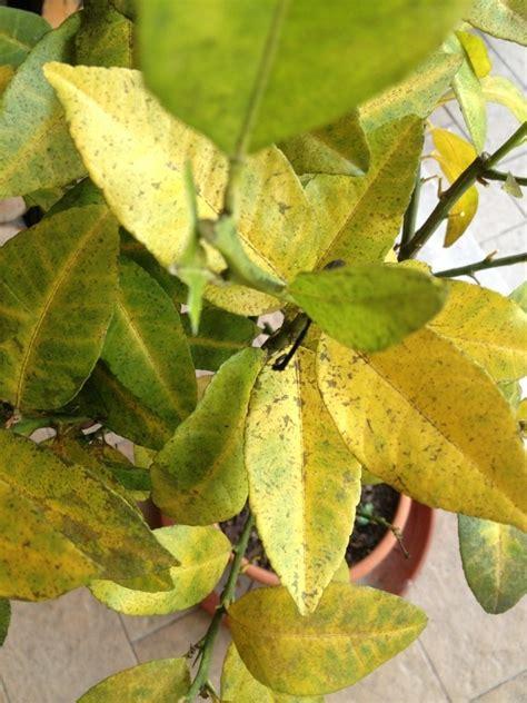 malattie della pianta di limone vaso malattie limone malattie delle piante le malattie
