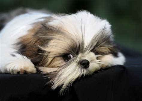 how to cut hair on a shihpoo best 25 baby shih tzu ideas on pinterest shih tzu dog