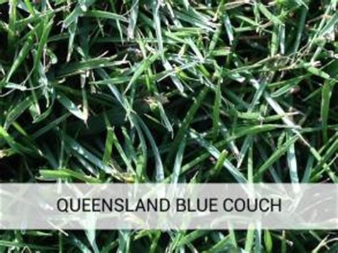 qld blue couch queensland blue couch brisbane turf supplies brisbane