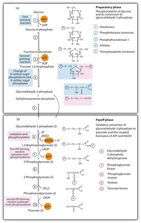 carbohydrates yield how much energy stage ii of carbohydrate catabolism