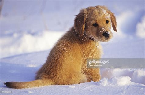 snow golden retrievers a golden retriever pup on snow canada stock photo getty images