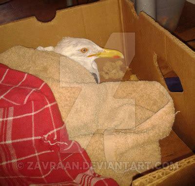 the injured seagull by zavraan on deviantart