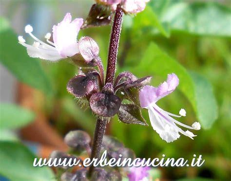 fiori di liquirizia erbe in cucina photo gallery basilico liquirizia