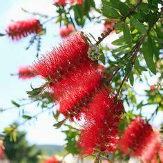 Michika Calliope new varieties of geranium big big pink