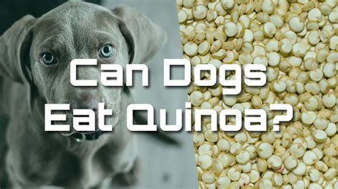 can dogs quinoa can dogs eat quinoa pet consider